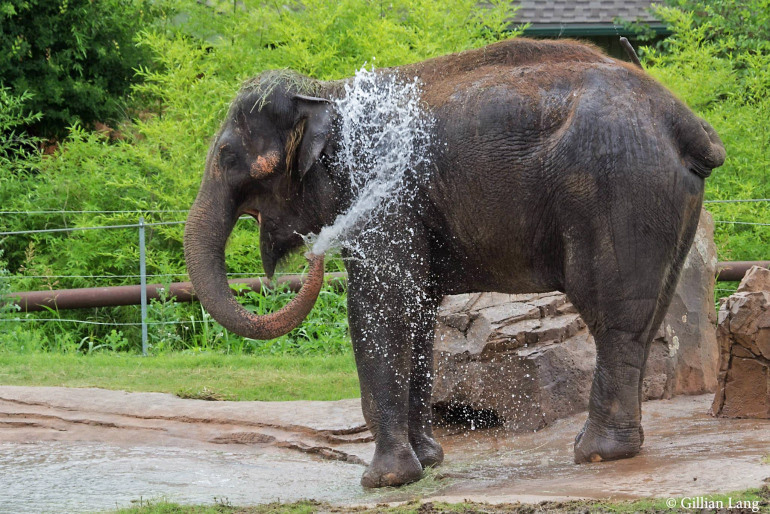 Chai is the second elephant to be found dead at the OKC Zoo in the past six months. Online photo